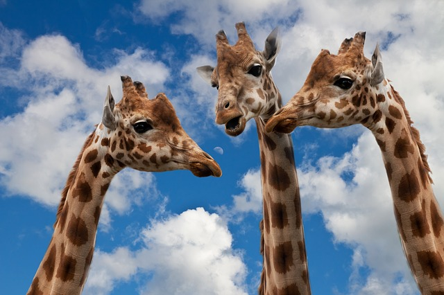 Close-up photo of three giraffes against a sky back, holding a discussion about