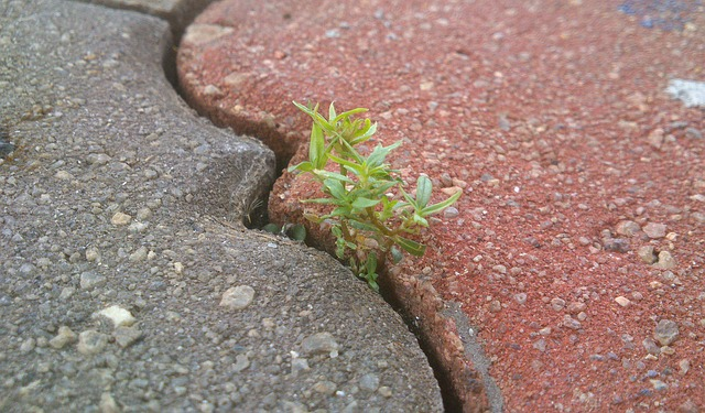 Small plant growing in crack between two concrete slabs.